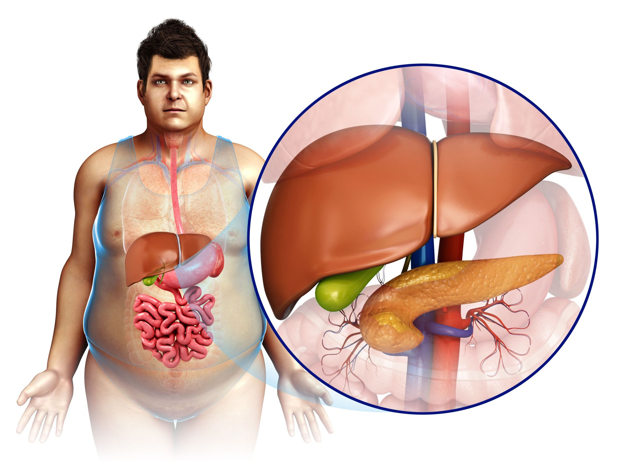hight resolution of male liver and pancreas illustration