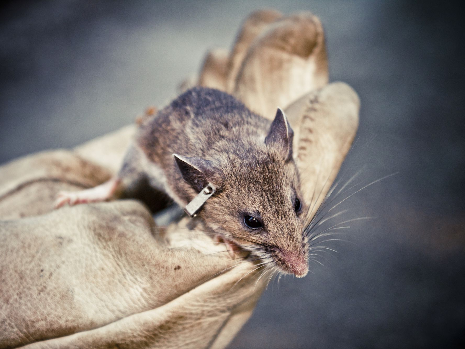 How to Keep Safe From Mice Carrying Hantavirus