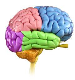 human brain regions illustration [ 4674 x 3739 Pixel ]