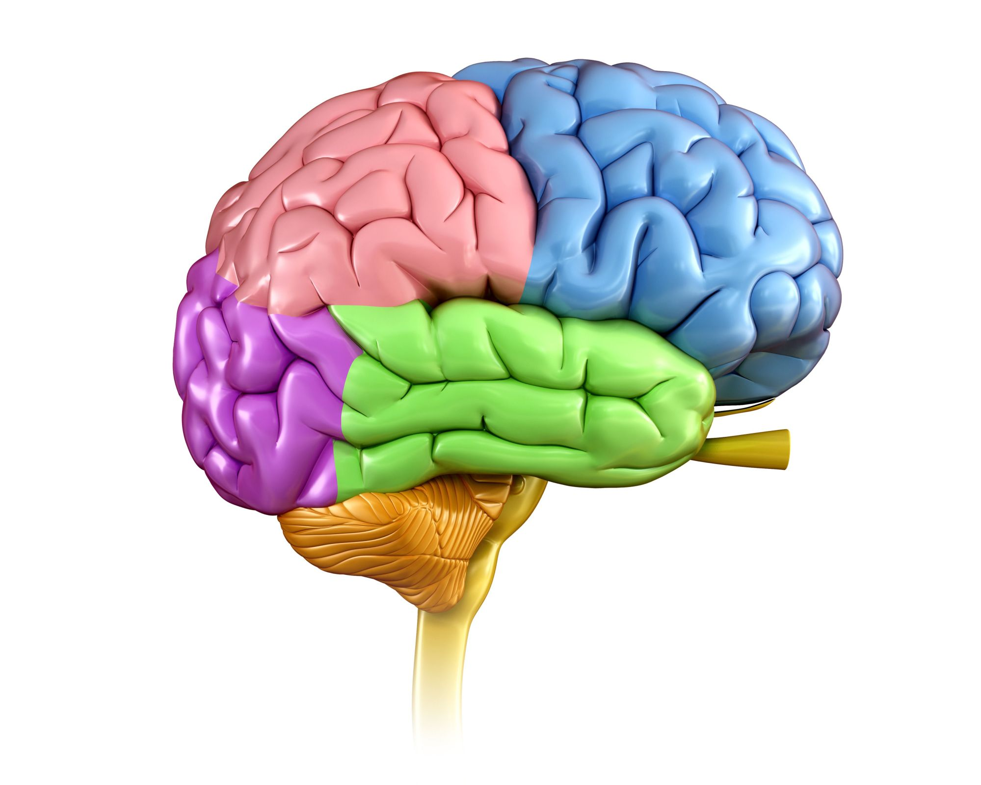 hight resolution of human brain regions illustration
