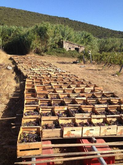 Passerillage de l'Aleatico au Clos Nicrosi - Corse