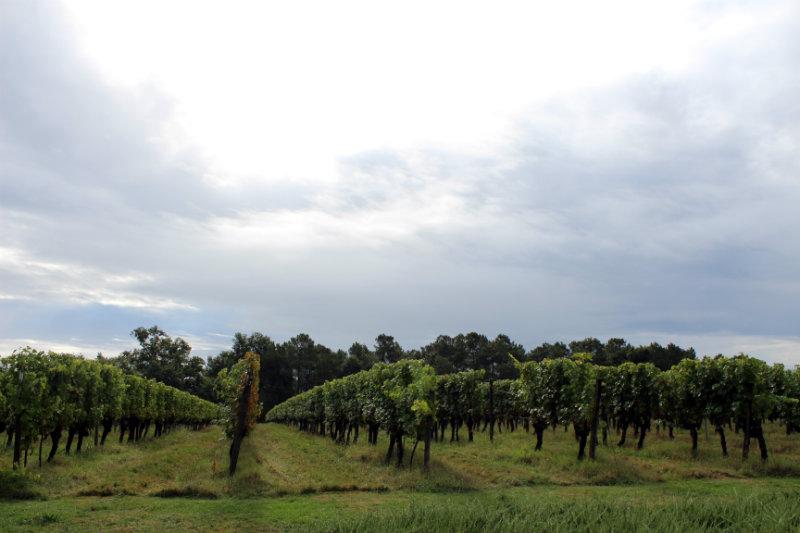 Vignes - Domaine de Paguy - Armagnac