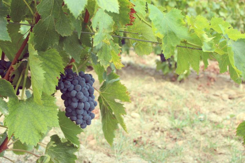 Raisin dans les vignes Devichi 2