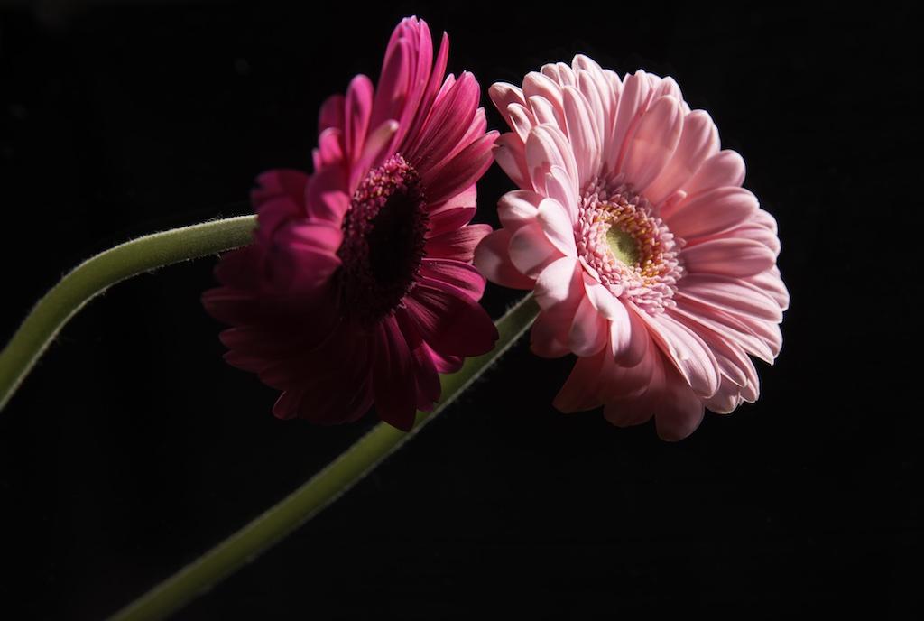 bloem-gerbera-roze-verzinhet-fotografie
