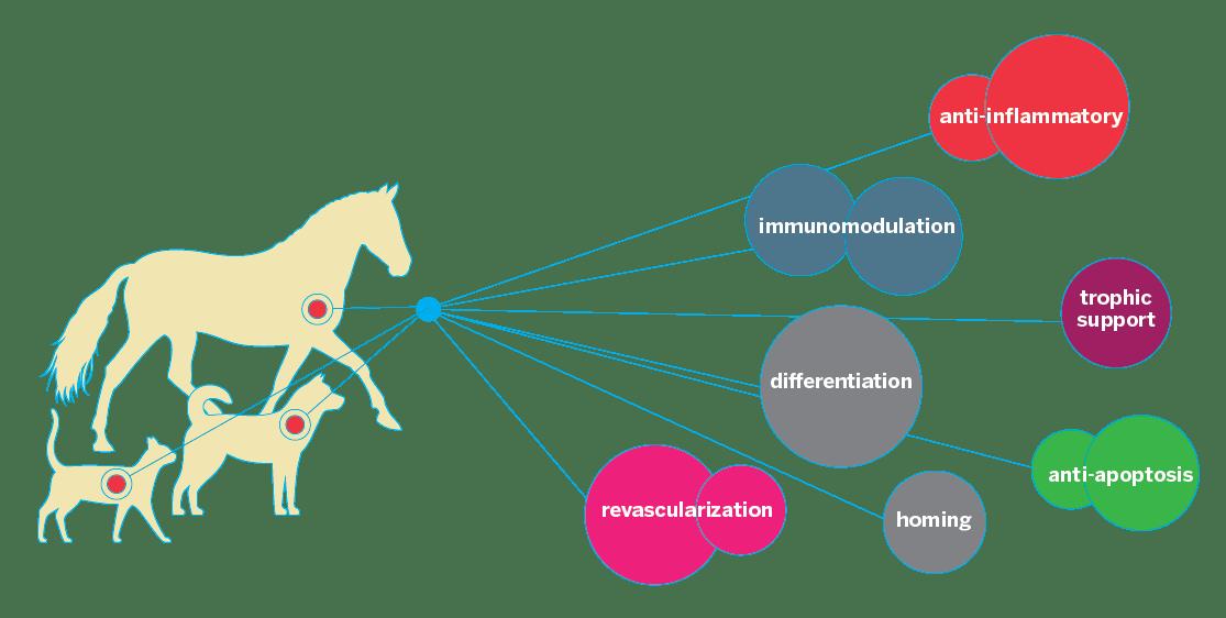 white fat cell diagram 1998 ford f150 xlt radio wiring cat adipose www whenintransit com what is vetstem regenerative medicine why use derived rh vet stem
