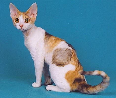 Seltene und ungewöhnliche Katzenrassen