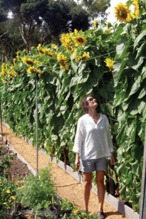 Giant Russian sunflowers