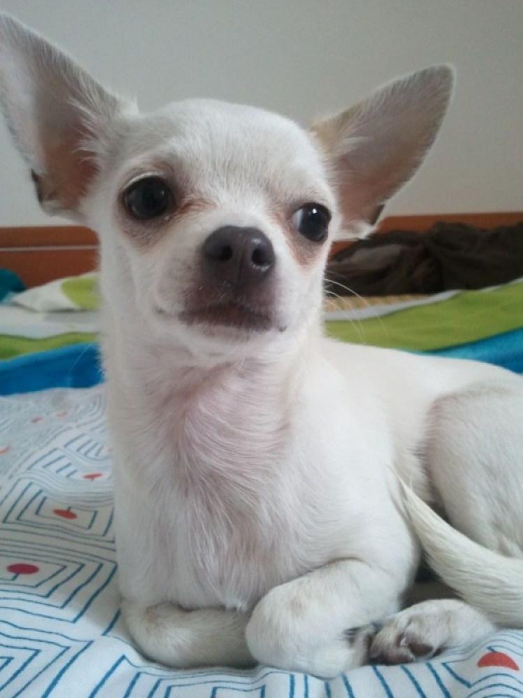 Leia, chihuahua blanca