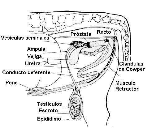 Revista Veterinaria Argentina » Anatomía del aparato