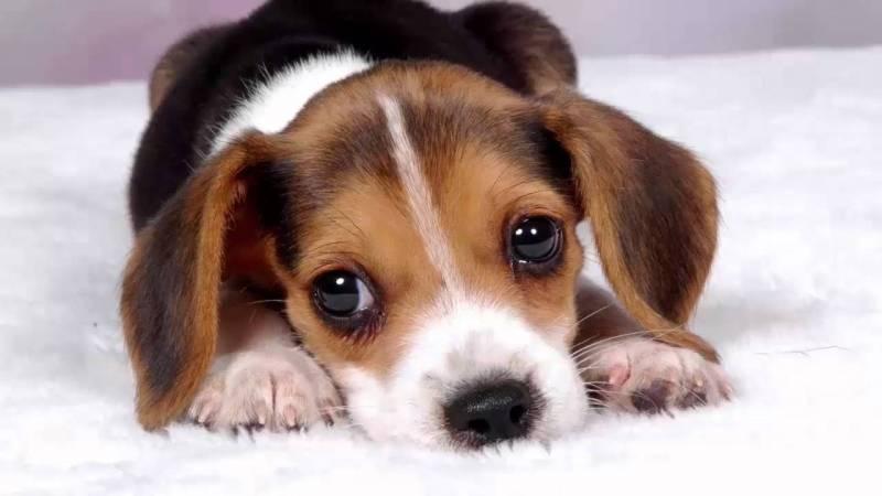 Cachorro triste porque está enfermo