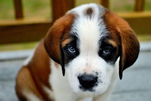 moquillo canino sintomas causas cura tratamiento