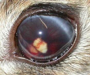ojo de conejo