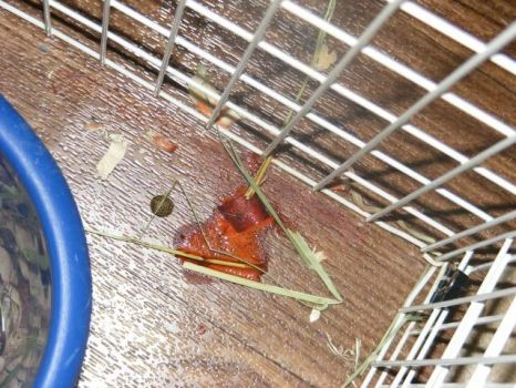 Orina roja en el fondo de la jaula de un conejo