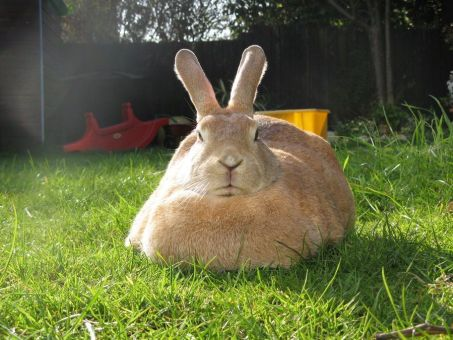Los conejos no deberian tener sobrepeso