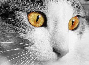 feline corneal disease