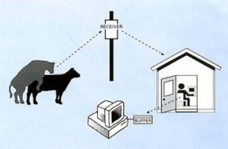 Estrus Detection In Dairy Animals