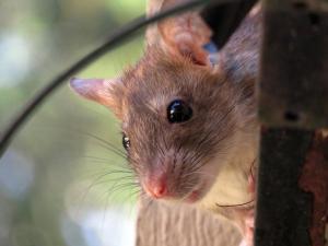 Roof Rat Rodent