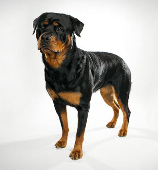 Rottweiler - Guard Dog