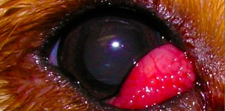 Cherry Eye in Dogs Image