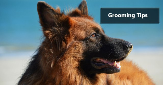 German Shepherd Grooming Tips
