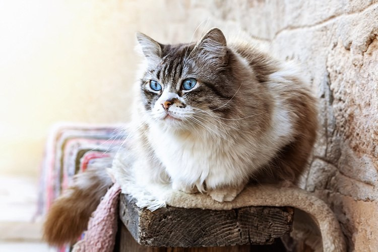 The Worst Things about Living with a Ragdoll Cat | Veterinary Hub