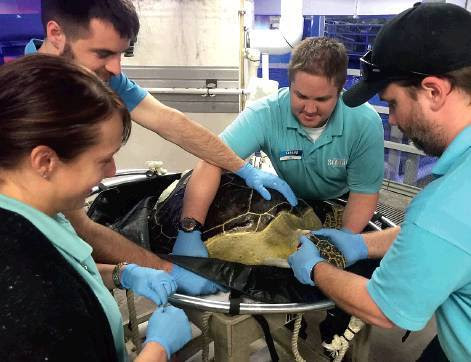 SeeMore the green sea turtle was rescued off Florida following a boat collision and was sent to Sea Life Minnesota Aquarium.