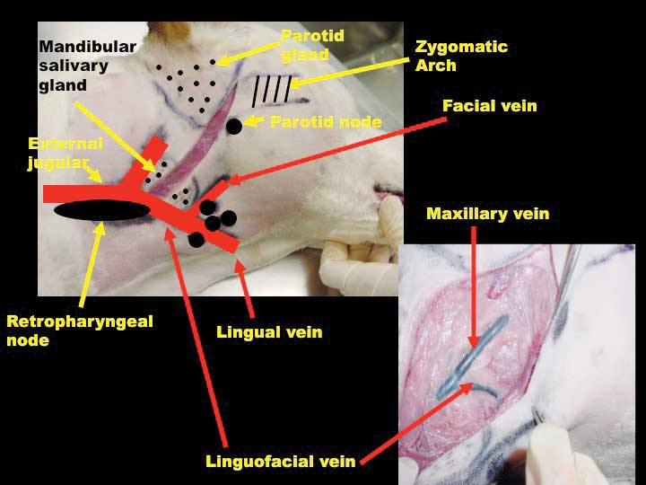 dog internal anatomy diagram sub wire common and 'forgotten' head neck lymphocentrums - veterinary practice news