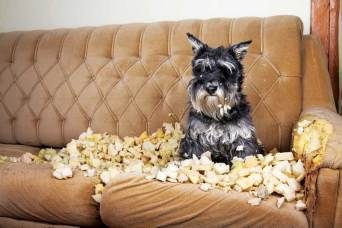 Destructive behavior while alone in the house may be a sign a dog is anxious.