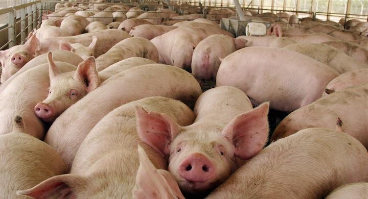 Granja De Cerdos Sin Olor Para Cuidar El Ambiente