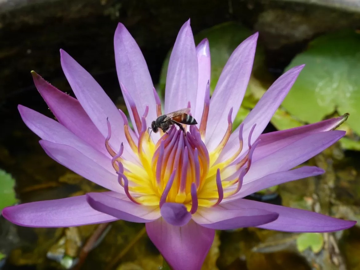 waterlilly-1347798_1280