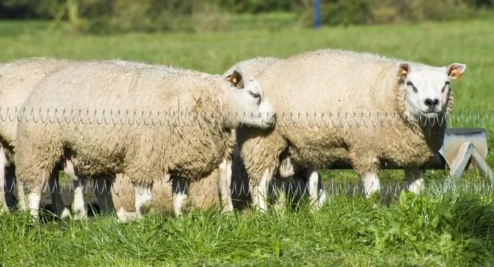 schapen hoevensteensedreed