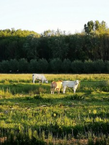 biesbosch koe