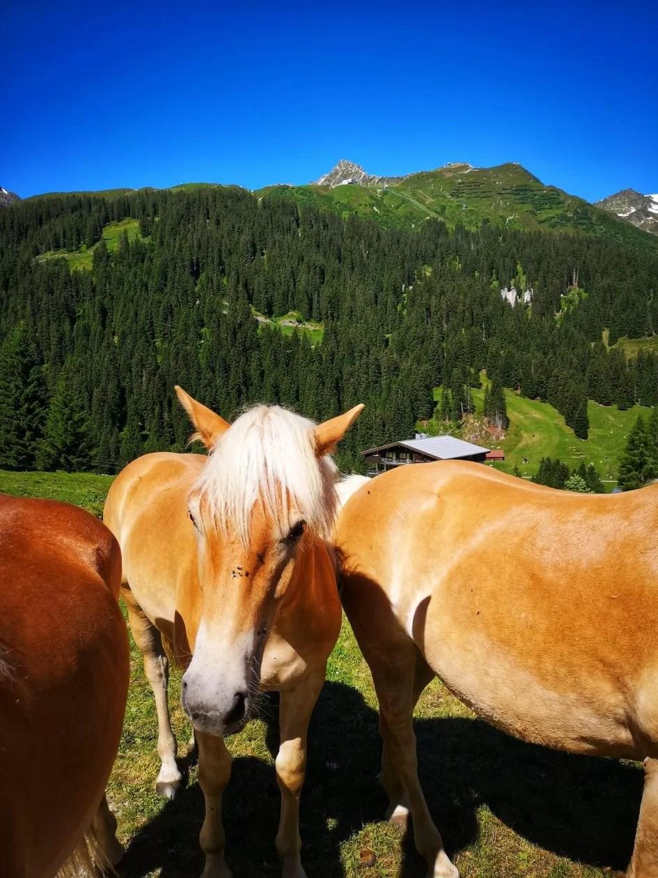 montafon paarden