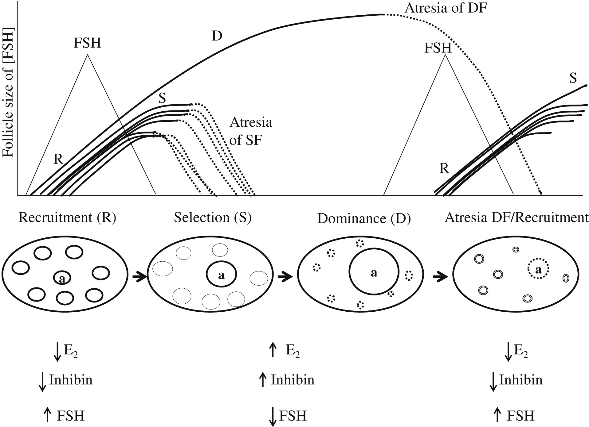 Physiology And Endocrinology Of Puberty In Heifers