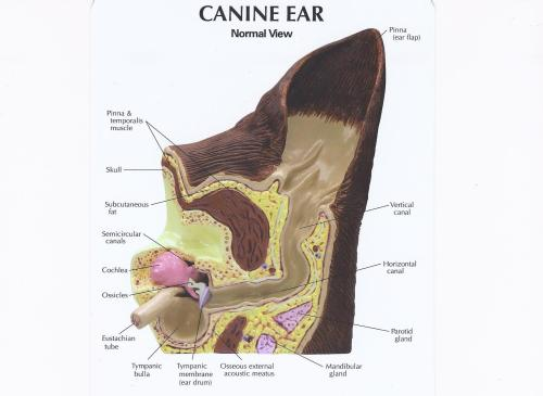 small resolution of canine ear normal canine ear pathology
