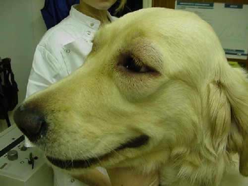 Urticaria and angioedema in dogs  Vetlexicon Canis from Vetstream  Definitive Veterinary