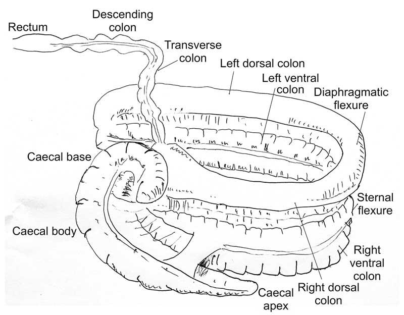 volvulus diagram equine