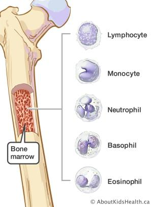 Types of White Blood Cells