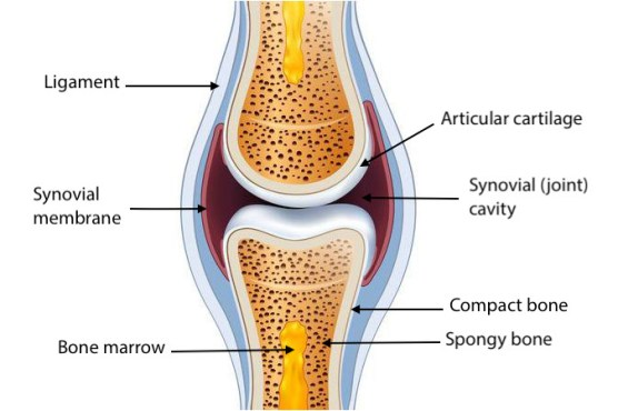 Structure of a human body normal joint