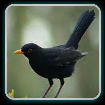 blackbird donner