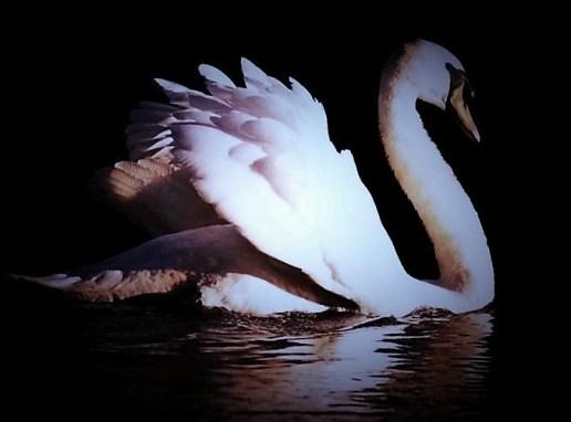 swan-copy