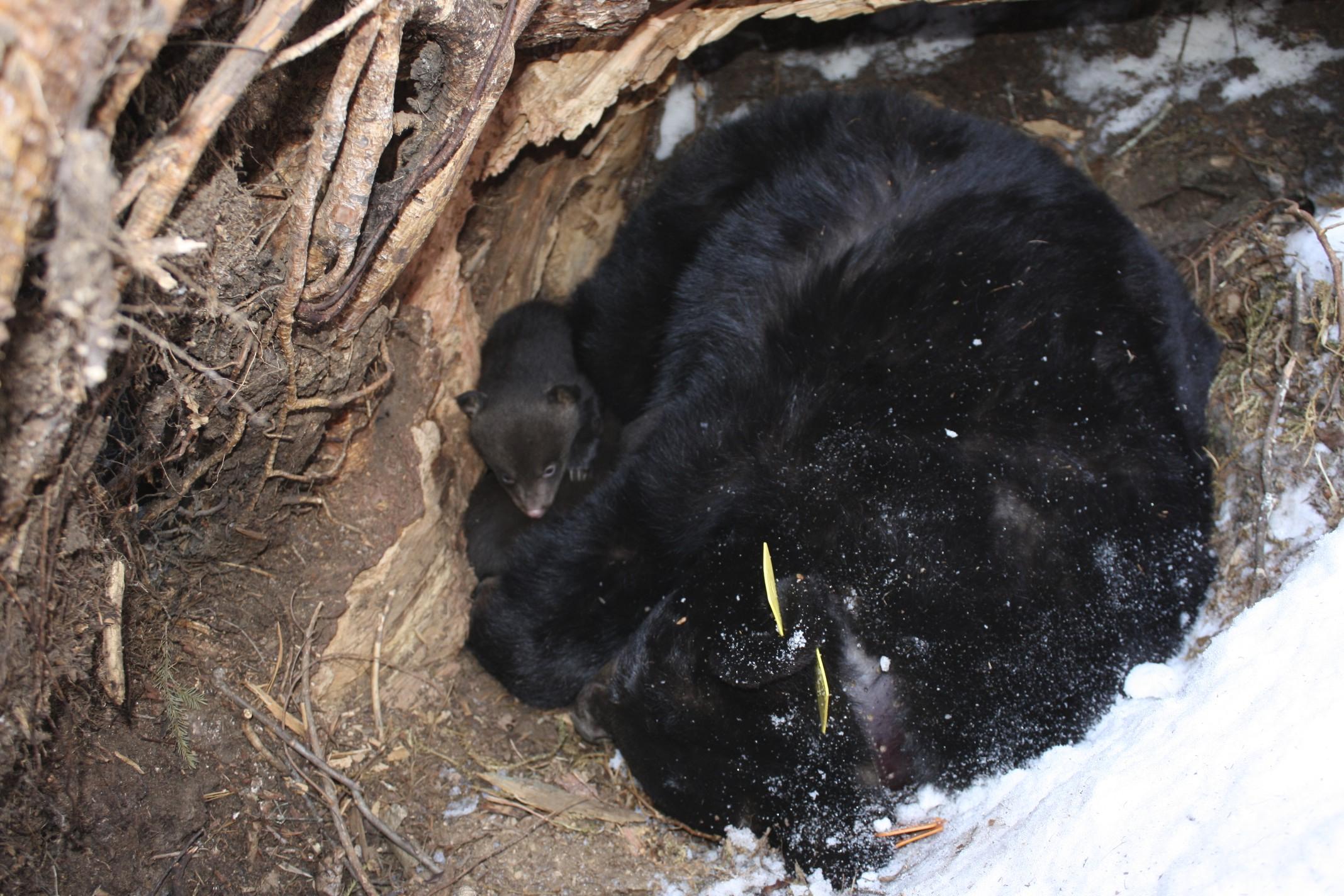 Black Bears Hibernating