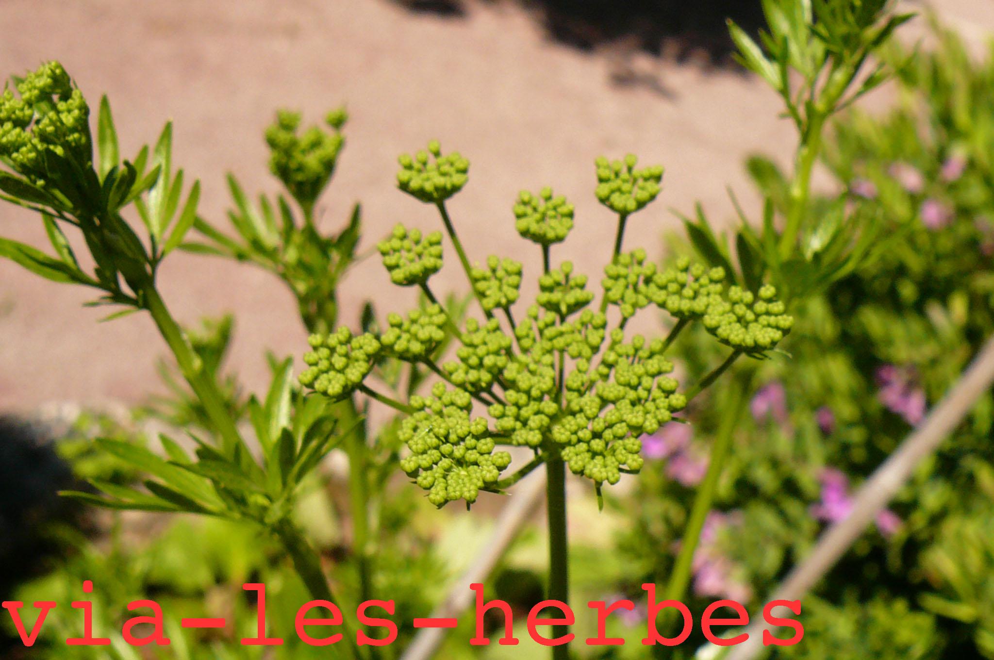 Le persil premire plante condimentaire  Vialesherbes