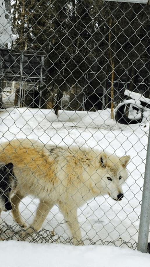 カナダ オオカミ ノーザン・ライツ・ウルフ・センター