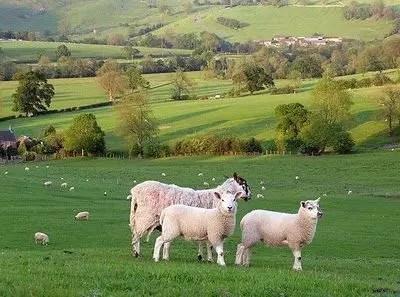 Sheffield: vacanza low cost con le pecore
