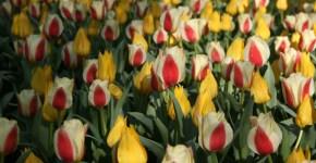 25 Aprile e 1 Maggio a Tulipanomania al Parco Giardino Sigurtà