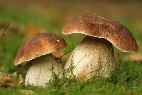 Sagra itinerante del fungo cardoncello a Murgia