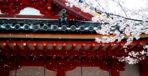 Tokyo e i fiori di ciliegio: quando e dove andare per ammirarli