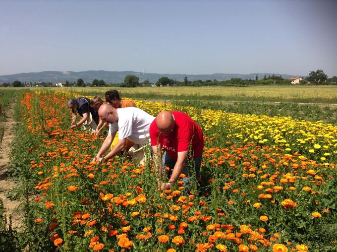 infiorate di spello raccolta fiori