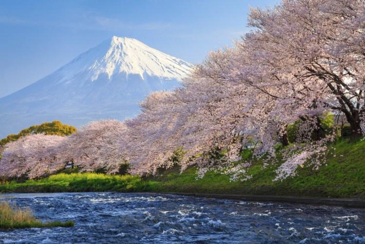 la fioritura dei ciliegi sul monte fuji